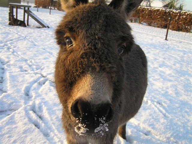Ezel in de sneeuw